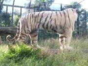 Kagoshima - White Tiger