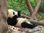 成都 - ジャイアントパンダ