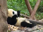Chengdu - Giant Panda