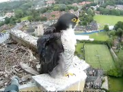 Norwich - Peregrine Falcons