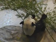 Toronto - Giant Panda