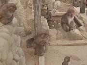 洲本 - 猴子