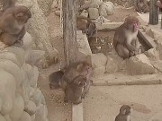 Sumoto - Monos