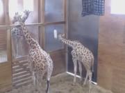 Harpursville - Giraffes