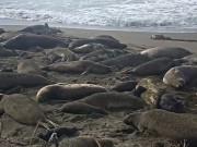 San Luis Obispo - Piedras Blancas Seal