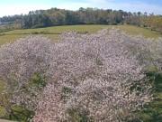 Macon - Cherry Blossoms