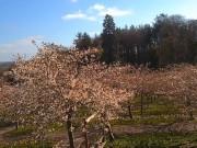 Alnwick - Cherry Blossom Orchard