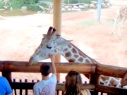 Colorado Springs - Giraffes