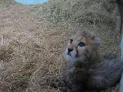 Himeji - Cheetah